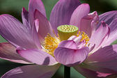 Fully bloomed lotus flower — Stock Photo