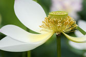 Fully bloomed white lotus flower — Стоковое фото