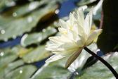 Lírio branco na água — Foto Stock