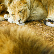 Sleeping african lioness — Stock Photo