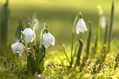 Snowdrop flowers in morning, soft focus, perfect for postcard — Stock Photo