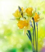 żółte kwiaty żonkila na tło zamazane pole — Zdjęcie stockowe