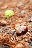 Castaño en otoño — Foto de Stock
