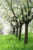 Meyve bahçesi - bahar ağaçları — Stok fotoğraf
