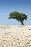 árbol solitario — Foto de Stock