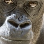 Gorilla Portrait — Stock Photo #5917509