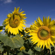 Sunflowers — Foto Stock