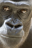 Gorilla Portrait — Stock Photo