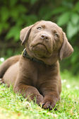 Puppy - labrador retriever — Stock Photo