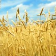 Wheat, grain, sprout — Stock Photo