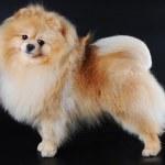 Pomeranian spitz on black background — Stock Photo #5609144