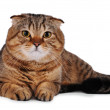 Scottish fold cat isolated on white — Stock Photo