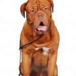 Bordoss dog sitting with lead isolated — Stock Photo #5650921