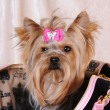 Yorkshire terrier popping-up from the bag — Stock Photo