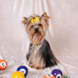 Yorkshire terrier with billiards balls - Stock Photo