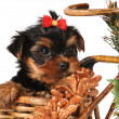 Little puppy at the Christmas box — Stock Photo