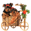 Royalty-Free Stock Photo: Two lovely puppies in Christmas bicycle