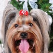 Yorkshire terrier portrait close up — Stock Photo #5651233