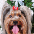 Stock Photo: Yorkshire terrier portrait close up