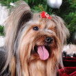 Yorkshire terrier in front of Christmas tree — Stock Photo