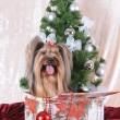 Yorkshire terrier sits in a present box — Stock Photo