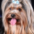 Close up portrait of yorkshire terrier — Stock Photo