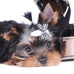 Yorkshire terrier pappy portrait — Stock Photo