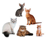 Group of cats different breed isolated — Stock Photo