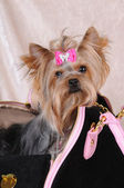 Yorkshire terrier sitting in a bag — Stock Photo