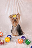 Yorkshire terrier with billiards balls — Stock Photo
