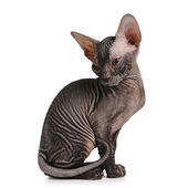 Sphynx kitten black color isolated on white — Stock Photo