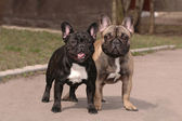 Franch bulldogs — Stock Photo