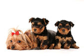 Family group of yorkshire terrier isolated on white — Stock Photo
