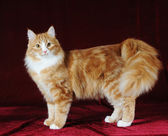 Red mixed-bred cat standing on red background — Stock Photo