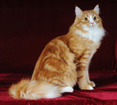 Red mixed-bred cat sits — Stock Photo