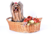 Cute dog in a basket isolated on white — Stock Photo