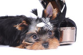 Yorkshire terrier pappy portrait — Stock Photo