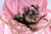 Yorkshire terrier pappy in pink silk and beads — Stock Photo