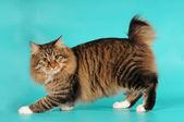 Bobtail cat portrait — Stock Photo