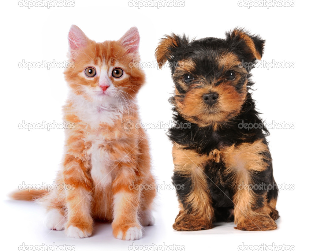 Little cute puppy of yorksire terrier and red mixed-breed kitten isolated on white. Two lovely friends sits and looking at camera! — Stock Photo #5745211