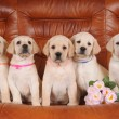 Постер, плакат: Group of labrador puppies