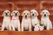 Group of labrador puppies — Stock Photo