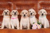 Group of labrador puppies — Stock Photo