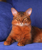 Beautiful somali cat lying of blue sofa — Stock Photo