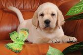 拉布拉多小狗躺在沙发上 — 图库照片