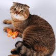 Scottish fold cat lying with butterfly — Stock Photo