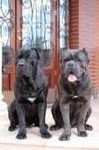 Two big gueard dogs ready to protect the house — Stock Photo