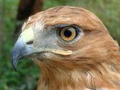 Brown Bird — Stock Photo