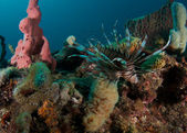 Red Lionfish on a reef in south florida — Stockfoto