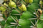 Cactus macro — Stock Photo